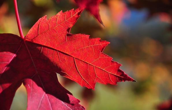 Картинка осень, природа, лист, клен, багрянец
