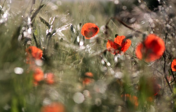 Картинка поле, лето, свет, природа, маки