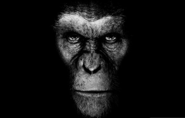 Картинка кино, фильм, обезьяна, черный фон, восстание планеты обезьян, rise of the planet of the apes