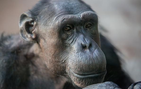 Картинка взгляд, морда, обезьяна, выражение, шимпанзе, примат