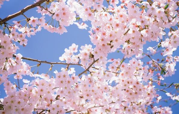Картинка небо, цветы, ветки, вишня, нежность, красота, весна, лепестки, Япония, Japan, розовые, white, белые, pink, park, ...