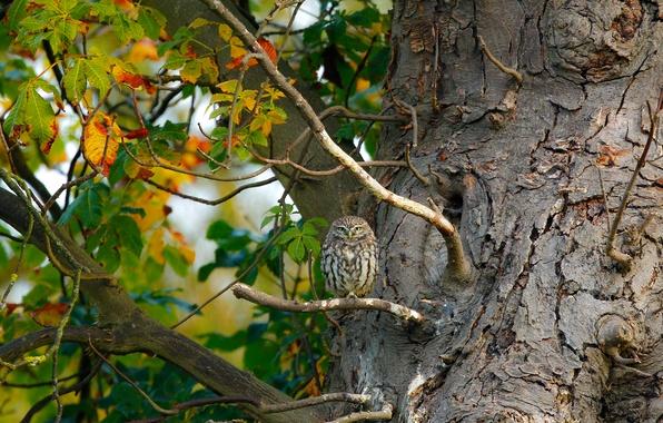Картинка листья, природа, дерево, сова, птица, ветка, совенок
