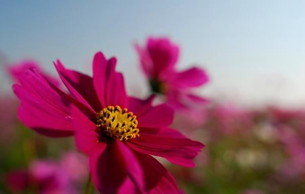 Картинка поле, цветок, лето, небо, макро, яркий, розовый, лепестки, космея