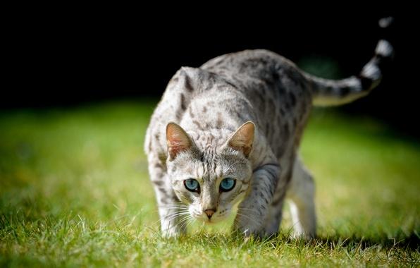 Картинка кошка, трава, кот, взгляд, голубые глаза, боке