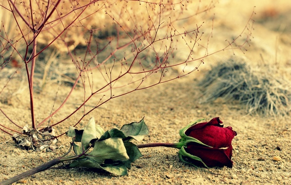 Картинка цветок, листья, цветы, ветки, фон, widescreen, обои, роза, wallpaper, листочки, красная роза, широкоформатные, background, полноэкранные, …