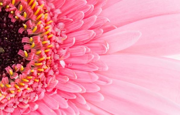 Картинка flower, pink, petals, gerbera