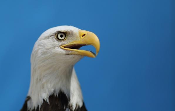 Картинка небо, взгляд, птица, орел, профиль, bird, blue sky, bald eagle, Белоголовый Орлан