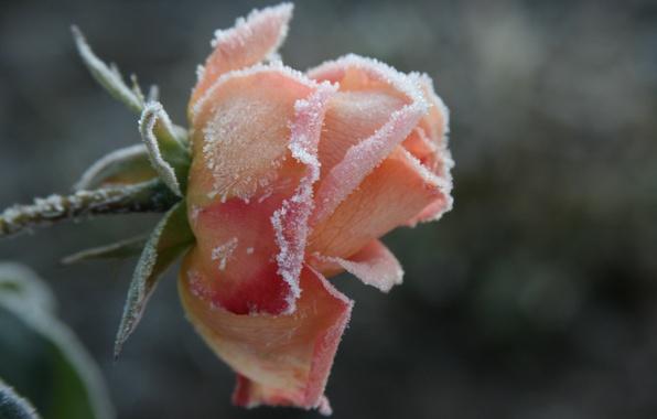 Картинка холод, иней, цветок, макро, цветы, фон, обои, роза, растение, утро, сад, мороз