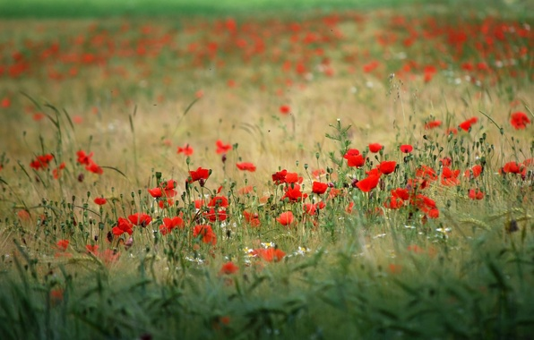 Картинка поле, цветы, природа, фон, обои, маки, растения