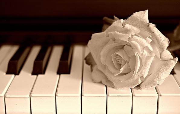 Картинка цветок, музыка, роза, пианино