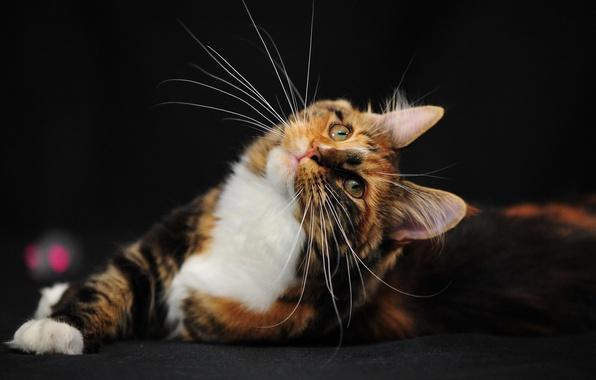 Картинка кошка, усы, настроение, богатка