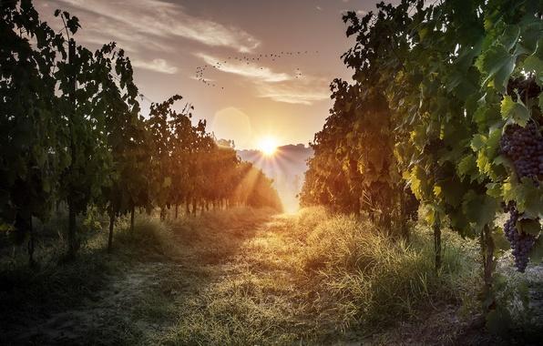 Картинка свет, пейзаж, природа, утро, виноград