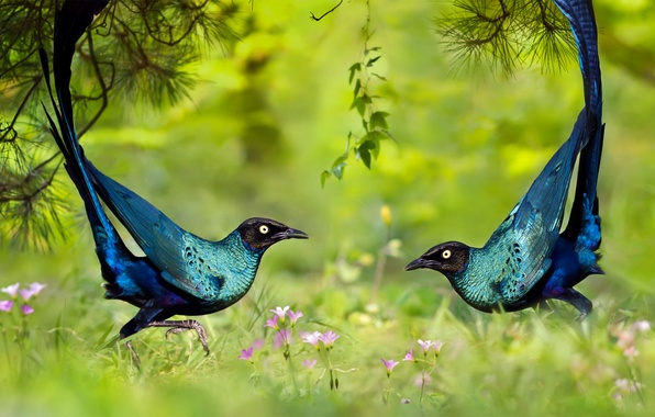 Фото обои трава, природа, птица, танец, длиннохвостый блестящий скворец