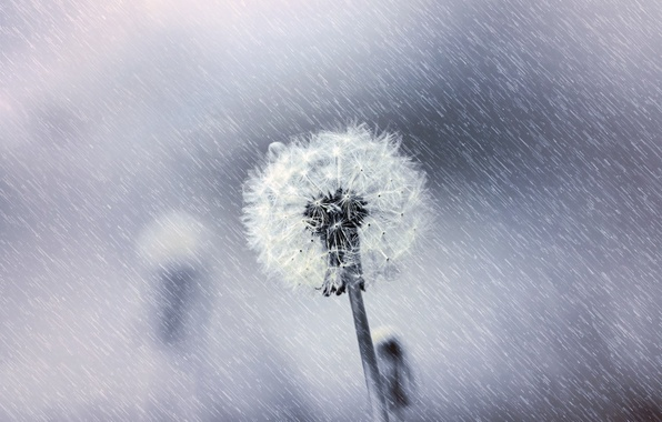 Картинка цветок, макро, природа, одуванчик, пух, black & white