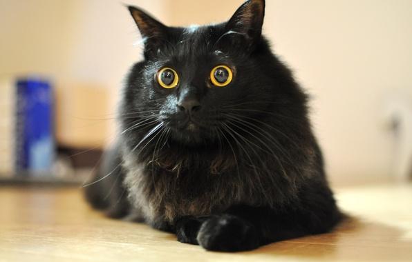 Картинка кошка, глаза, кот, усы, шерсть, кошак