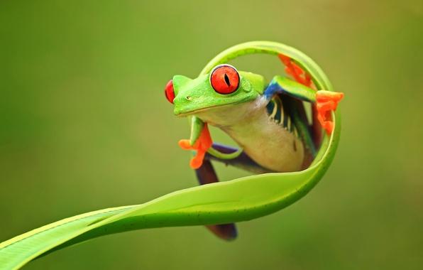 Картинка глаза, природа, фон, цвет, лягушка, лапки, зеленая, animals, nature, frog, восточная, провинция, Индонезии, Ява, стебль, …