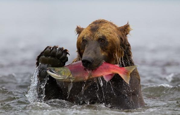 Картинка вода, рыба, медведь, Камчатка, гризли, улов, нерка