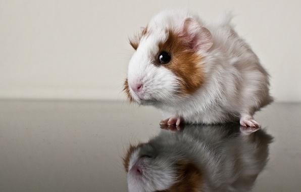 Картинка отражение, морская свинка, грызун