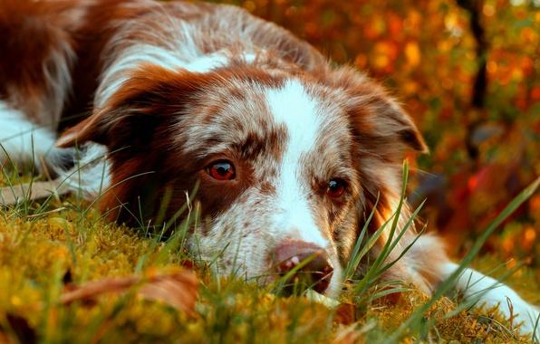Картинка осень, взгляд, морда, собака, Бордер-колли