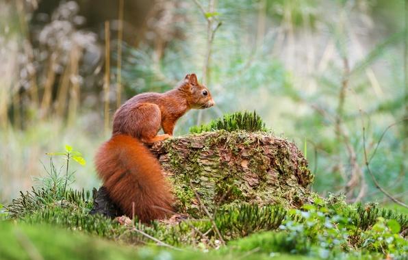 Картинка лес, трава, природа, мох, белка, пенек, grass, forest, squirrel, moss, Emi