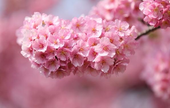 Картинка макро, цветы, вишня, веточка, дерево, лепестки, Япония, размытость, сакура, розовые