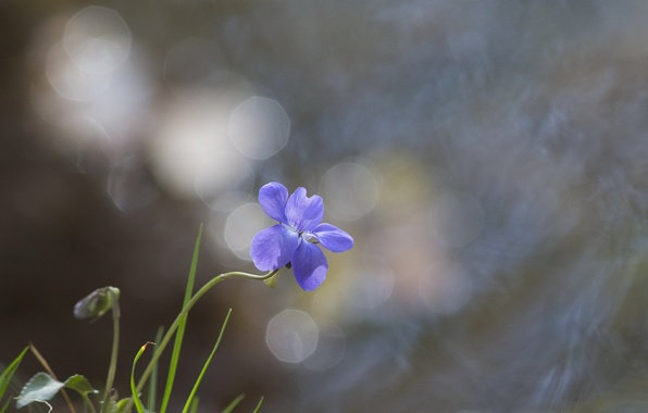 Картинка цветок, блики, фон, голубой, травинки