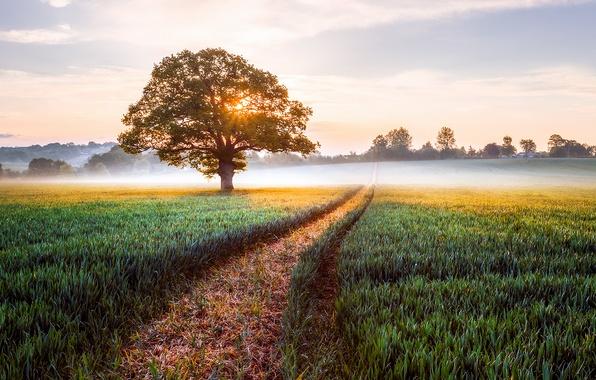 Картинка поле, пейзаж, природа, туман, восход, дерево, Англия, утро