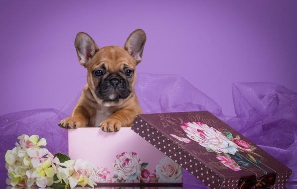 Картинка цветы, коробка, щенок, вуаль, французский бульдог