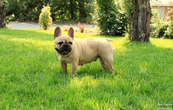 Картинка трава, девочка, французский бульдог, French Bulldog