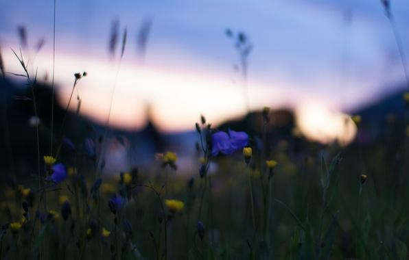 Картинка макро, закат, цветы, природа, блики, Поле, вечер, желтые, размытость, синие