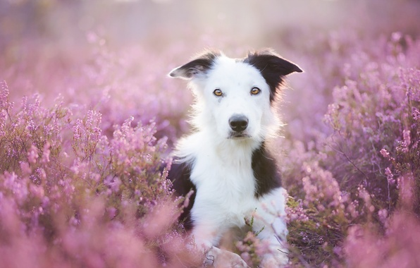 Картинка лето, взгляд, цветы, друг, собака