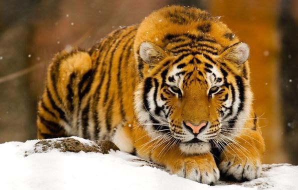 Картинка зима, снег, тигр, хищник, рыжий, зверь