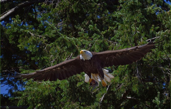 Картинка деревья, птица, хищник, полёт, Белоголовый орлан