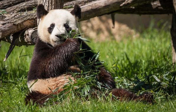 Панда точит бамбук  картинки и открытки