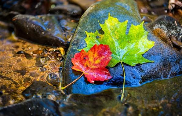 Картинка осень, листья, вода, мокрый, камни, клен