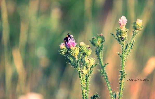 Картинка цветок, лето, макро, шмель, колючка