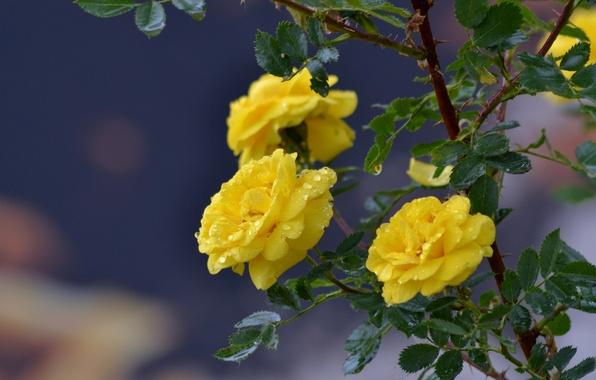 Картинка капли, природа, дождь, розы, красота, весна, nadya-kornilova80