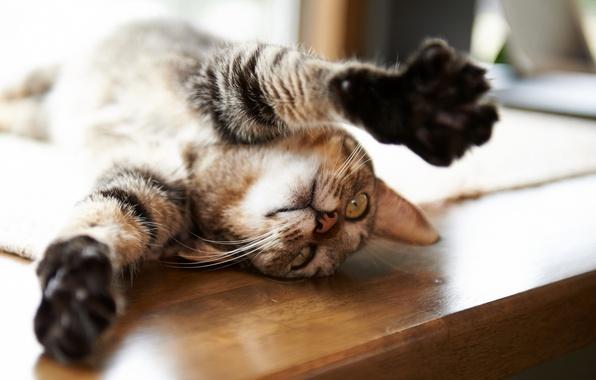 Картинка кот, стол, лапы, Кошка, лежит