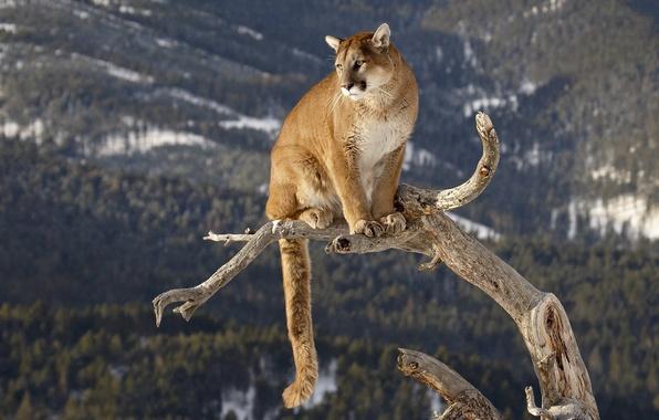 Картинка ствол, пума, большая кошка, горный лев