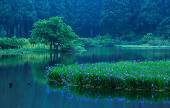 Картинка лес, деревья, цветы, озеро, отражение, Япония, Japan, ирисы, Shiga Prefecture, Takashima