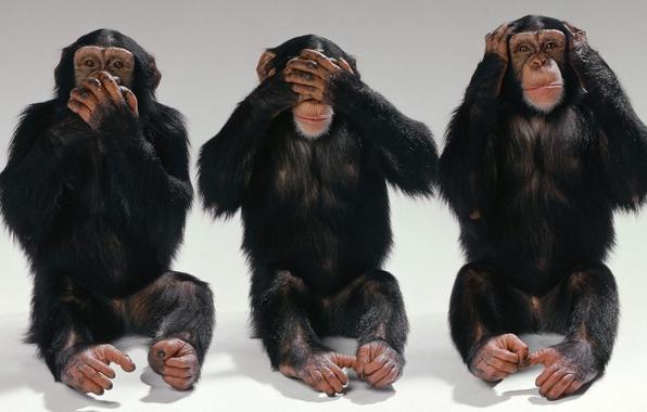 Картинка глаза, рот, Обезьяна, уши, трое, шимпанзе