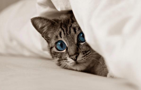 Картинка животные, кот, взгляд, котёнок, голубые глаза