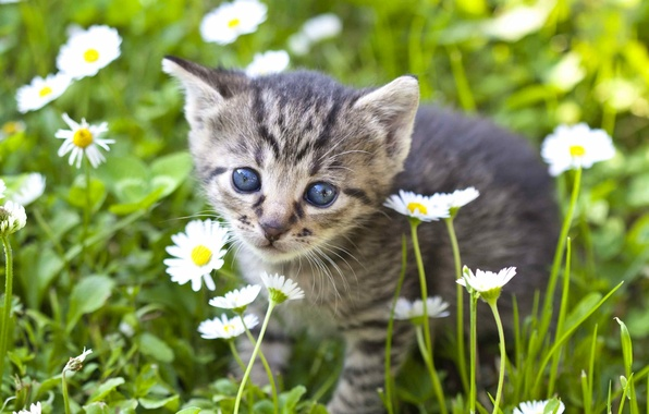 Картинка взгляд, цветы, ромашки, малыш, мордочка, котёнок
