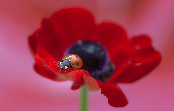 Картинка цветок, макро, мак, божья коровка, flower, macro, poppy, ladybug