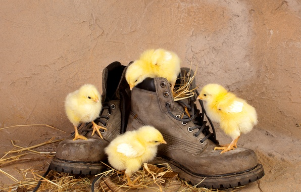 Картинка цыплята, ботинки, солома, птенцы, любопытство