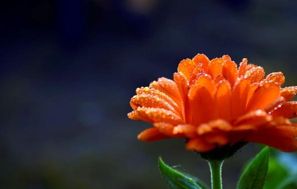 Картинка цветок, вода, капли, цветы, оранжевый, роса, фон, widescreen, обои, размытие, лепестки, wallpaper, flower, широкоформатные, background, …