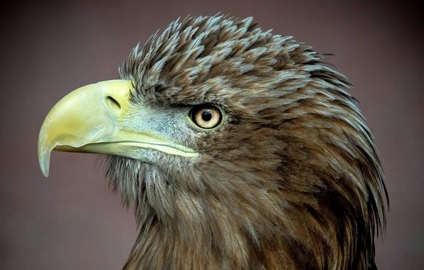 Картинка птица, хищник, профиль, белоклювый орел