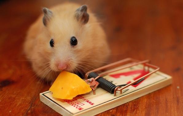 Картинка сыр, мышеловка, мыш