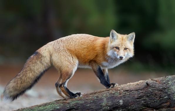 Картинка взгляд, хищник, хвост, лис, рыжая, лисица