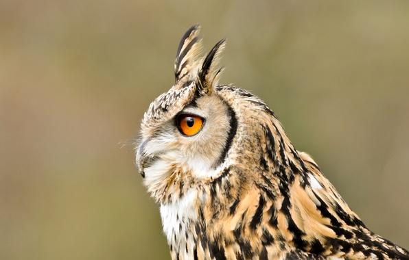Картинка взгляд, птица, Сова, профиль, длинноухая